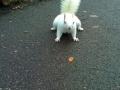 Cyril the albino squirrel